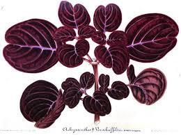 gilson achyranthes.jpeg