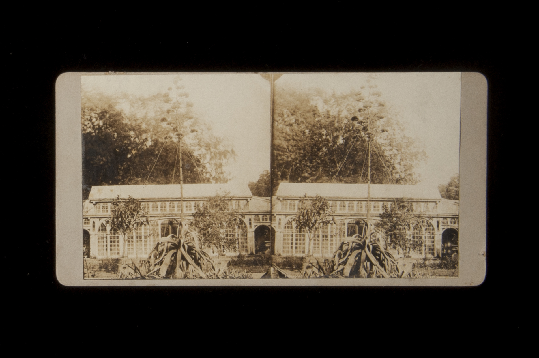 Catherwood Conservatory. Stereographic card of Century Plant (Agave americana) at Montgomery Place Conservatory, 1873.