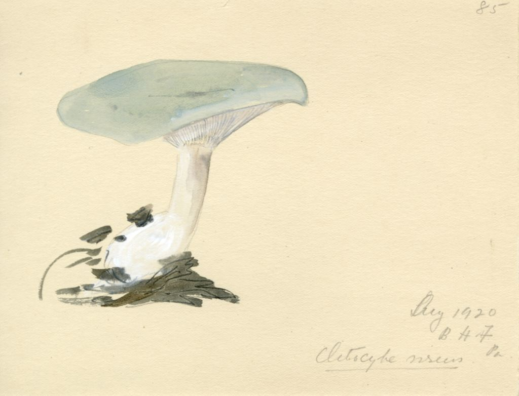 Clitocybe virens