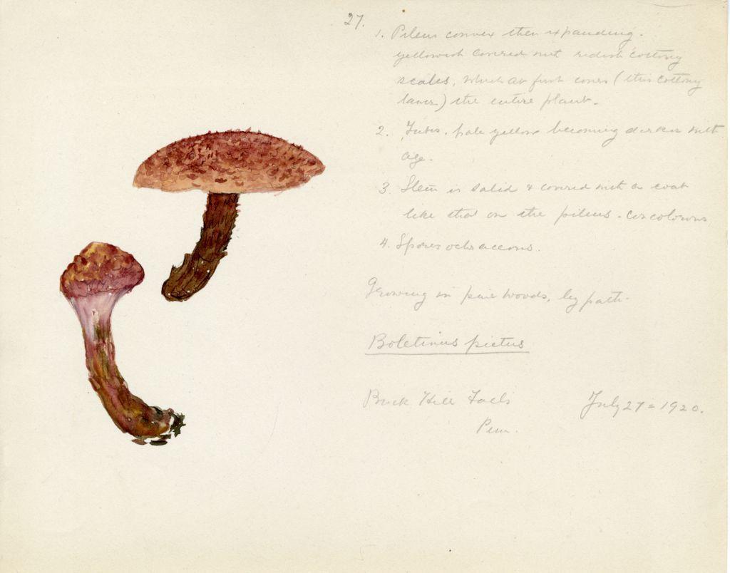 Boletinus pictus