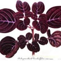 Achyranthes verschaffeltii, var. Gilsoni (aka Aschyranthus 'Gilsonii' and Iresine 'Herbstii')