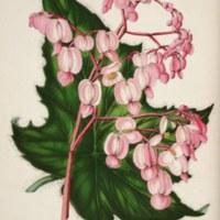 Begonia 'Gilsonii' (aka Begonia gilsonii, Begonia x gilsoni).